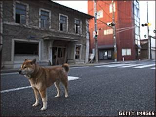 Cão foi abandonado dentro da zona de exclusão, a cerca de 6 km da usina de Fukushima (Getty)