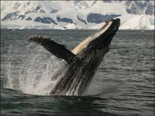 Baleia jubarte (Foto: Sue Flood/BBC)