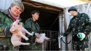 Белорусские должностные лица проверяют уровень радиации поросят