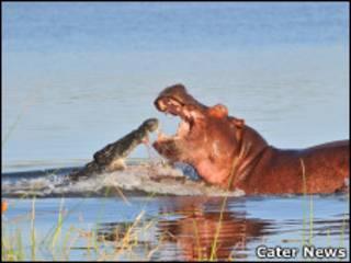 Crocodilo e hipopótamo no Malaui (Arnaud Germain - Cater News)