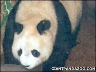 Найстаріша панда