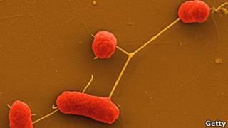Бактерия ENEC под микроскопом