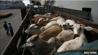 ماشية في إندونيسيا