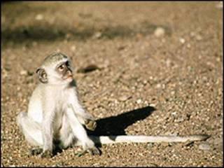Filhote de macaco vervet (arquivo/Foto: BBC)