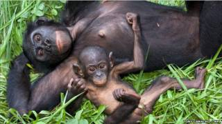 Bonobos o chimpancé pigmeo