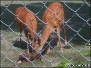 Оленча у зоопарку