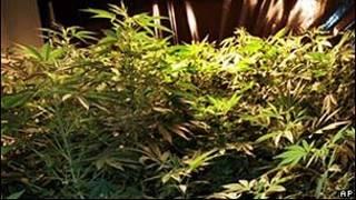 Planta de maconha (imagem de arquivo)/AP