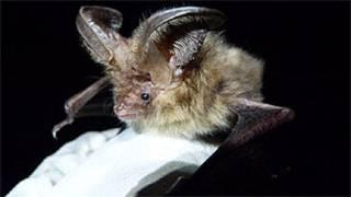 Morcego marrom de orelhas longas (Foto: Fiona Mathews/Universidade de Exeter)