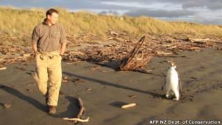 Petugas konservasi Selandia Baru Clint Purchas mengamati burung penguin itu di Pantai Peka Peka tanggal 20 Juni lalu