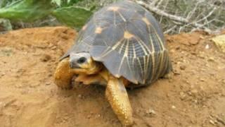 Черепахи Мадагаскара