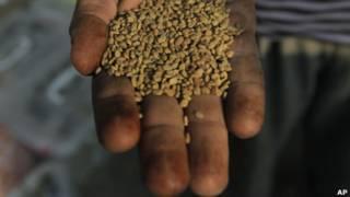 Семена пажитника из Египта