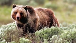 Seekor beruang
