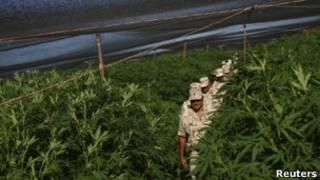 Плантация марихуаны на севере Мексики