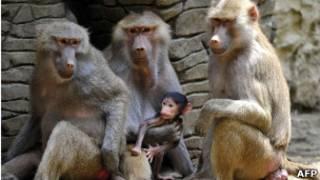 Babuínos, no zoológico de Cali, na Colômbia. AFP