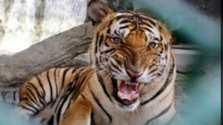 Hổ trong điều kiện nuôi nhốt
