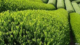 چای سبز ایران