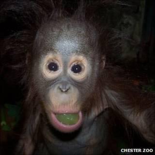 Orangotango do Zoológico de Chester (Foto: Zoológico de Chester)
