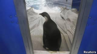 Happy Feet é solto na Antártida