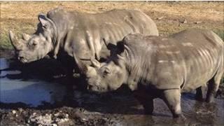 tê giác Châu Phi