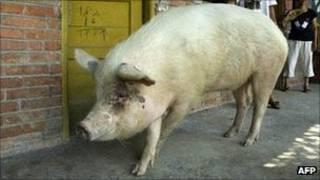 Porco chinês Zhu Jianggiang (AFP)