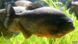 Piranha (Foto: BBC)