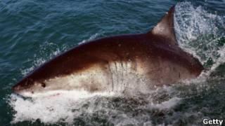 Tubarão Branco (Getty)