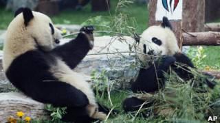 Две панды едят бамбук в зоопарке Пекина (архивное фото)