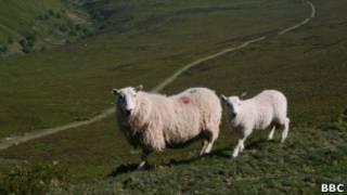 Валлийские овцы