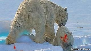 Oso polar caníbal