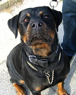 یک سگ نژاد وت ویلر