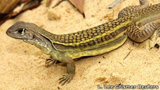 Lagarto Leiolepis ngovantrii que se reproduce por clonación