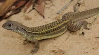Loài thằn lằn tìm thấy tại vùng sông Mekong