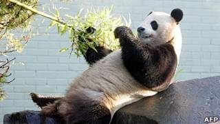 panda en Edimburgo