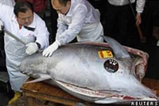 A chef cuts the bluefin tuna.