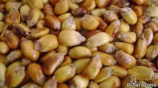 Cancha o maíz tostado
