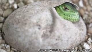 Filhote de Iguana-das-Antilhas-Menores Foto: Durrell Wildlife Conservation Trust
