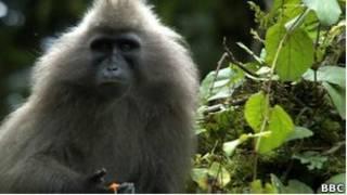 Macaco selvagem   Foto: BBC