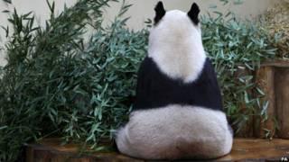 Tian Tian the panda in her enclosure at Edinburgh Zoo.