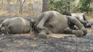 Eléphants massacrés