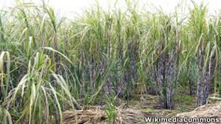 Plantação de cana de açúcar  Foto: WikiCommons