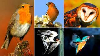 Imagen compuesta de aves de plumas rojizas o naranja