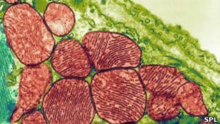 Клетки сердечной ткани