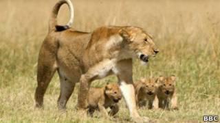 Leão com filhotes, em foto de arquivo da BBC
