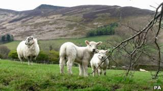 Ягнята в Уэльсе