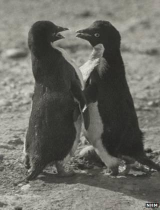 利維克醫生發現並記錄下了企鵝非同尋常的同性戀活動(英國自然博物館照片)