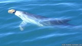 Delfín usando una esponja para proteger su nariz mientras busca alimentos