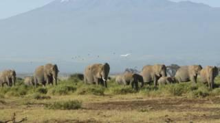 अफ्रीका हाथी