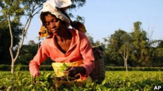 Чайная плантация в Ассаме