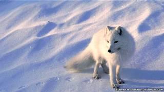 Un zorro blanco sobre la nieve del Ártico canadiense.
