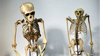 Esqueletos de un chimpancé y de un orangután.
